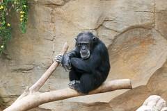 Spain104.1 (Rock On Tom) Tags: animals zoo toucan spain orangutan apes chimps fuengirola