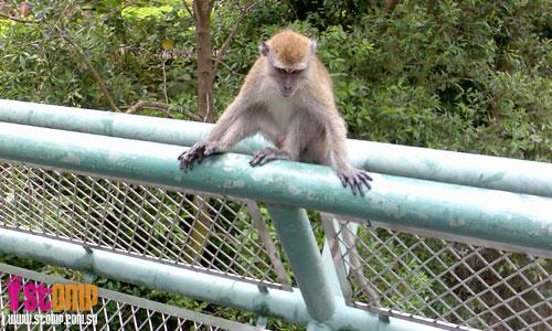 Fearsome monkey at Sungei Api Api gave me a 'vampire face'