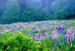 DSC00983adj Misty Field of Lupines (ftoomschb - catching up) Tags: new flowers mist canada green nature misty island flora sony meadow cybershot brunswick nb bloom lush f707 lupines campobello
