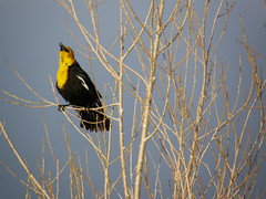 I'm Alive! (Cliff Hanks) Tags: yellow calling blackbird headed
