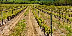 Curso sobre manejo de abonos verdes en viñedos