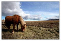 °°o°°o°° (snorri.s) Tags: horses horse nature animal canon iceland snorri hestar hestur blueribbonwinner citrit multimegashot goldenheartaward