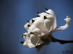 Sweet Magnolia! (Kadacat (Marlene)) Tags: macro tree spring blossom ottawa arboretum magnolia naturesfinest blueribbonwinner canon30d fantasticflower kadacat vosplusbellesphotos