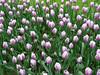 tappeto di tulip