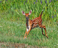 white tailed fawn running