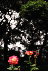 _30 (nakimusi) Tags: pink rose garden tokyo spring may  gw meguro  shirokanedai    goldenweek yerrow    nikond60     tokyometropolitanteienartmuseum