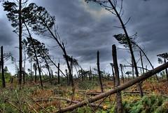 Landes (France), pine forest after Klaus (George Abitbol.) Tags: storm france forest landscape nikon gimp pines klaus hdr tempête d60 landes photomatix january2009