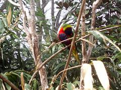 Lorikeet (rbglasson) Tags: bird birds nashville tennessee lorikeet olympus lorikeets nashvillezoo