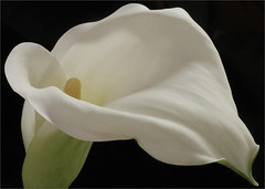 EXPLORED: White Calla Lily Flower Macro / calla lily / Close up / lily / white / - IMG_0418 (Bahman Farzad) Tags: white black flower color macro colors up closeup lily close calla background upclose flowermacro macroflower whitecallalily closeupflower upcloseflower