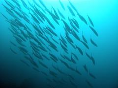 Fish shoaling over the reef (mattk1979) Tags: blue house fish redsea egypt deep scuba diving reef marsa shoal shagra redseadivingsafari