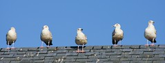 photo line up (monstertje77) Tags: seagulls nature birds animals