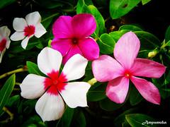 TRIO - Rose Periwinkle / แพงพวยฝรั่ง 3 สี