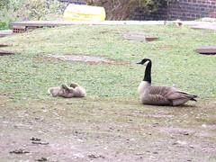 Mother goose and her goslings (ell brown) Tags: greatbritain england geese birmingham unitedkingdom goose canals goslings westmidlands canadagoose canadageese mothergoose gasstreetbasin worcesterandbirminghamcanal