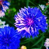 Kornbumen II (swusch) Tags: ashowoff blumen flowers herbal kräuter strasenrand pflanze