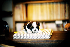 new world (moaan) Tags: leica dog puppy 50mm dof counter bokeh shihtzu bookshelf f10 shelf utata  osaka noctilux 2009 leicam7 m7 kodake100g onemonthold explored onthecounter  yasuri thelittledoglaughed leicanoctilux50mmf10  nishitanabe   gettyimagesjapanq1 gettyimagesjapanq2