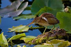 Keeping a Watchful Eye, 090728 (ac4photos.) Tags: birds florida wetlands leastbittern wakodahatchee snailkite nikond40 ac4photos