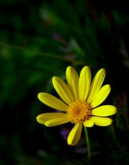 When the world says give up, hope whispers try it one more time... (Therese Trinko) Tags: yellow pacific grove daisy platinumpeaceaward