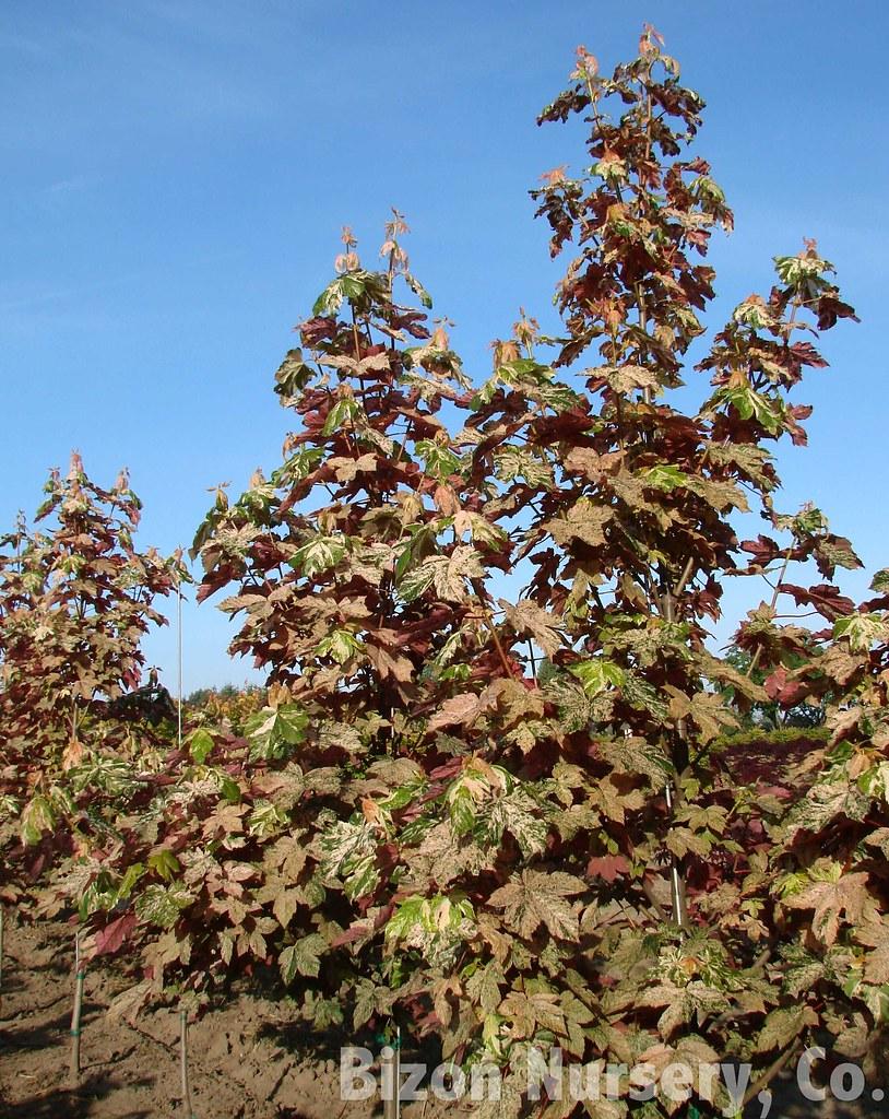 Photo: Acer pseudoplatanus
