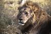 20090901 Okavango - Moremi 086 (blogmulo) Tags: africa travel animal fauna cat canon big wildlife lion reserve delta viajes leon botswana moremi 2009 f28 okavango canon70200 canon450d blogmulo
