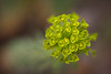 Euphorbia (macropoulos) Tags: topf50 500v20f greece 500v50f euphorbia spurge gettyimages euphorbiaceae nestos canoneos5d 1000v40f canonef100mmf28macrousm malpighiales 50faves50comments500views gettyimages:date_added=pre20110607