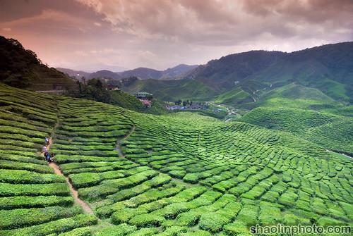 Bharat Tea Plantation