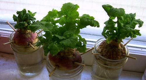 Turnip Babies