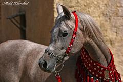 arabian horse 2 (mohammad khorshid (boali)) Tags: horse arabian   galope