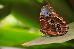 Morpho peleides wings closed (blue morpho butterfly) (Armando Maynez) Tags: blue costa macro rain forest butterfly garden insect nikon rainforest dof rica bosque torn morpho nikkor mariposa armando morph 18200 bluemorpho insecto lluvioso brokenwing d90 nuboso tornwings 18200vr tornwing challengeyouwinner flickrchallengewinner myfacebook maynez