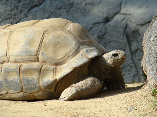 Aldabra Tortoise at the Los Angeles Zoo