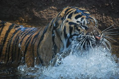 Wet Cat (CPG Photography) Tags: sumatrantigers topekazoo kemala rojotopekazooaug162008