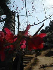 DSC07909.JPG (chinitanglatina) Tags: flowers nature japan spring ome ume yoshino plumblossoms umematsuri