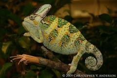 Chamaeleo calyptratus (Veiled or Yemen Chameleon) (Christopher V. Anderson) Tags: veiled yemen chameleon calyptratus chamaeleo chamaeleonidae