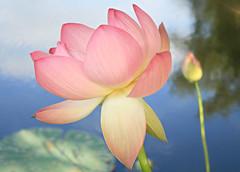 INT_Grovers-Lotus-6- (Blueshiva) Tags: pink flower bud sacredlotus lotusflowerlotus