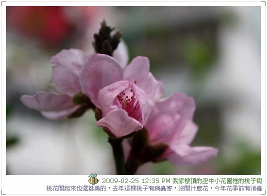 09.02.25 樓頂桃子開花 (1)