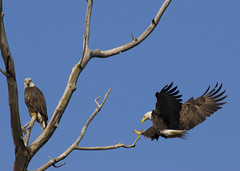 Runway Open for Landing (MattGerlachPhotography) Tags: two tree male female flying forsale wildlife pair fineart flight indiana landing buy purchase birdofprey wabashriver baldeagles evergreenpark talens huntingtoncounty mattgerlachphotography birdsnw09