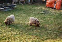 Sheep (kevingessner) Tags: sheep baa