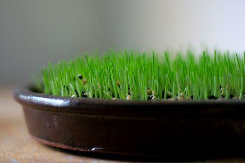 wheatgrass | day 4