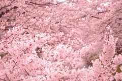 Cherry blossoms (sakura.saki) Tags: japan spring sakura cherryblossoms saki d60 sakurasaki vosplusbellesphotos