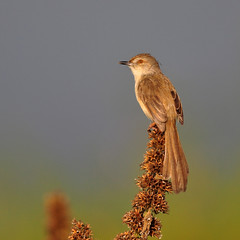 Plain Prinia (nurur) Tags: bird river dam prinia plain bangladesh plainprinia supershot muhuri nurur