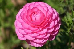 The Flowerfields (joeksuey) Tags: flower san diego ranunculus carlsbad flowerfields joeksuey