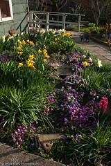 My Sister's garden (Starlisa) Tags: flowers garden spring path kitty velvet april daffodils hyacinth hurrah happyeaster mysistersgarden sweetviolets mysistersgarden87521