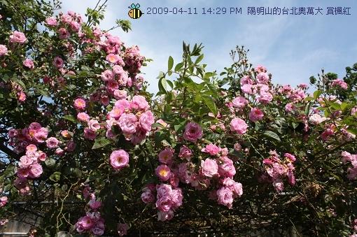 09.04.11 漂亮的爬藤薔薇@陽明山