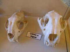 Jaguar Skulls - by Travis S.