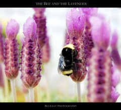 the Bee and the Lavender (❁bluejay 2006❁) Tags: pink flowers black nature yellow closeup lavender bee thursday bej nikond40 betterthangood vosplusbellesphotos bluejay2006 dragondaggerphoto zuzkasfaves