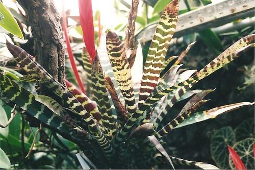 نبات سيف النار معلومات وصور نبات سيف النار