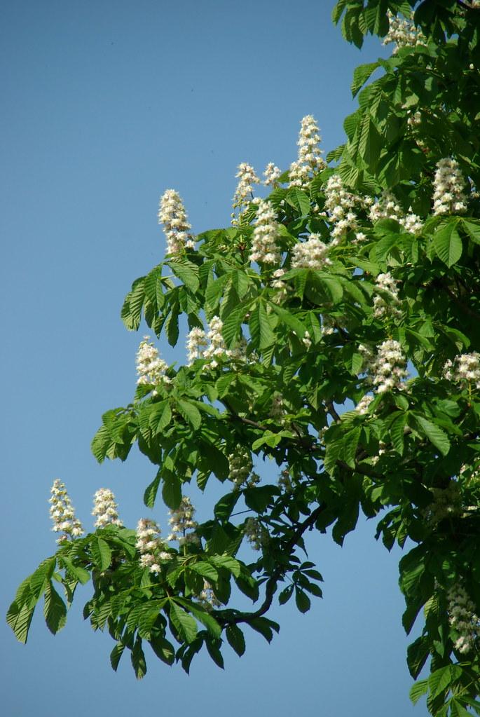 Horse Chestnut in Bloom