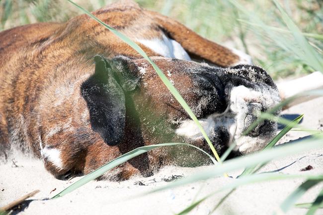 tiger i sanden