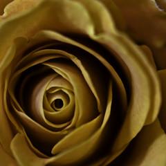 - Yoni (Lumase) Tags: flower macro rose square poetry poem sensual explore sanskrit closer yoni sexton milosz 500x500 lumase luigimasella  whenmanenterswoman