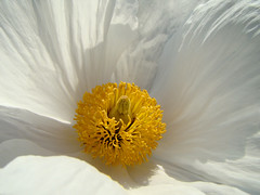 California native plants - Romneya coulteri - Matilija Poppy (mondomuse) Tags: white flower spring santamonica southerncalifornia perennial californianative papaveraceae romneyacoulteri matilijapoppy droughttolerant nurseryplant californiatreepoppy 365daysincolour