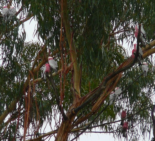 Galahs, huddling together in the cold and rain